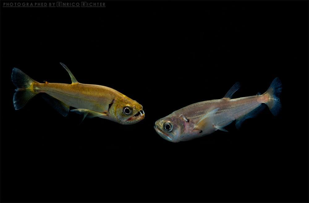 Hydrolycus tatauaia & Hydrolycus scomberoides from Peru