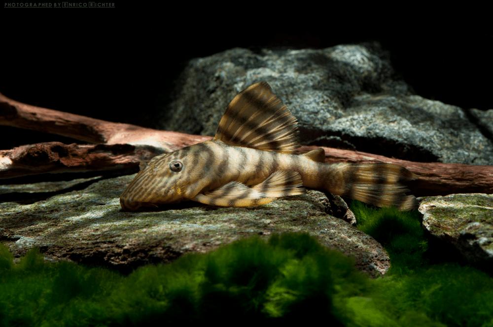 L398 Panaqolus sp. WF Brasilien 8-10cm