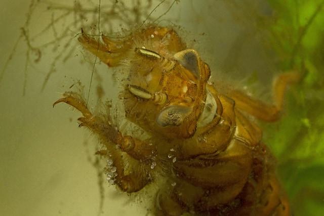 Foto: Porträt einer bodenlebenden Gomphiden-Larve, gut zu sehen sind die Augen, die stark behaarten Antennen und die kräftigen Vorderbeine. Rainer Stawikowski