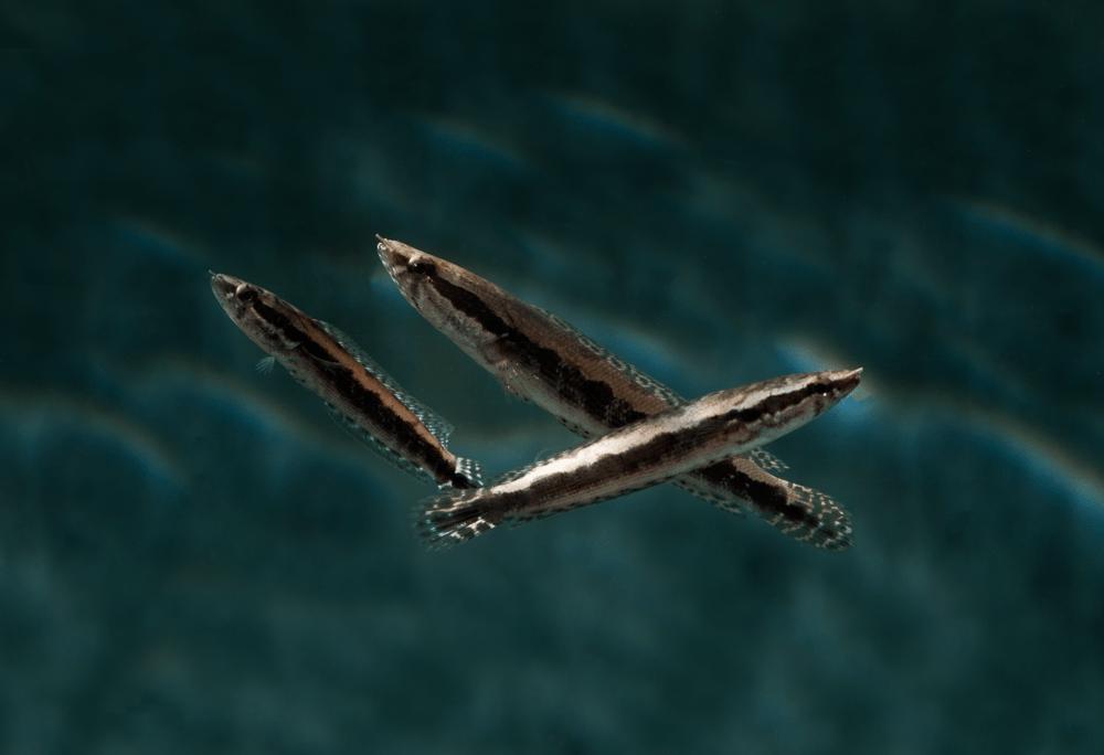 Parachanna obscura 5-6cm