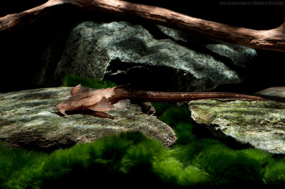 Platystacus cotylephorus WF Brasilien 11-14cm