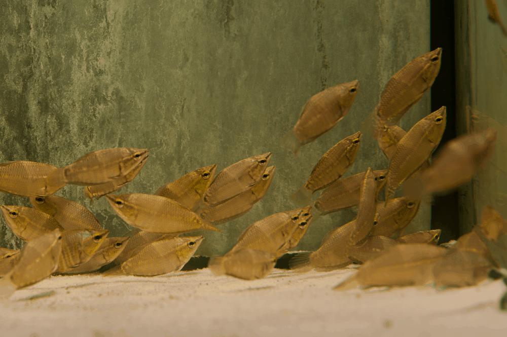 Sphaerichthys vaillanti 4cm