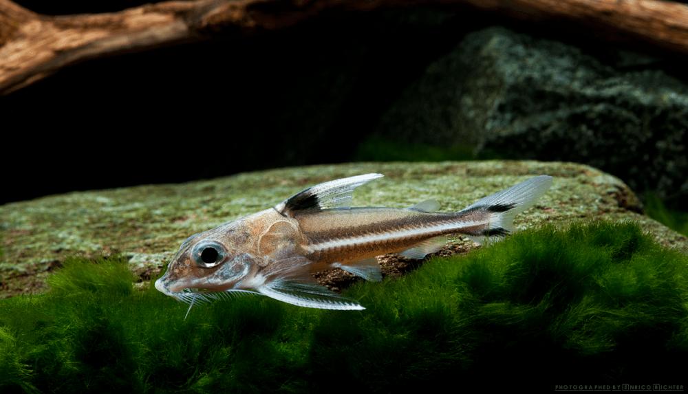 Tenellus (Opsodoras) ternetzi WF Peru 5-6cm