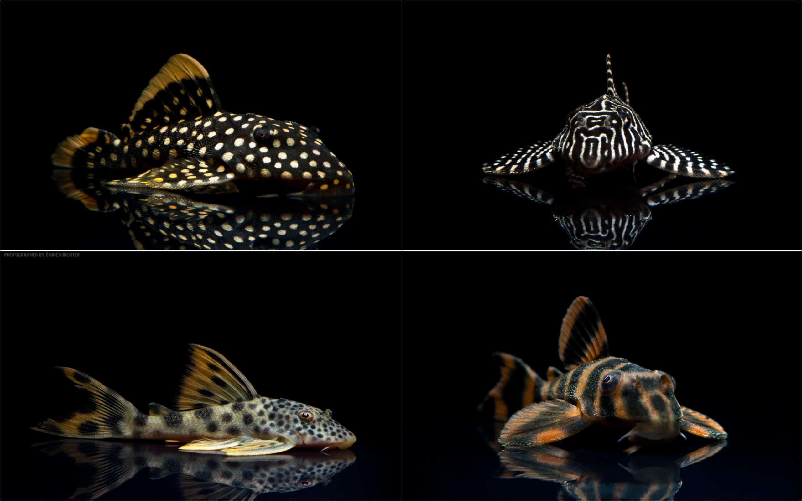 rarit ten neuimporte im fokus 180 l wels special my fish. Black Bedroom Furniture Sets. Home Design Ideas