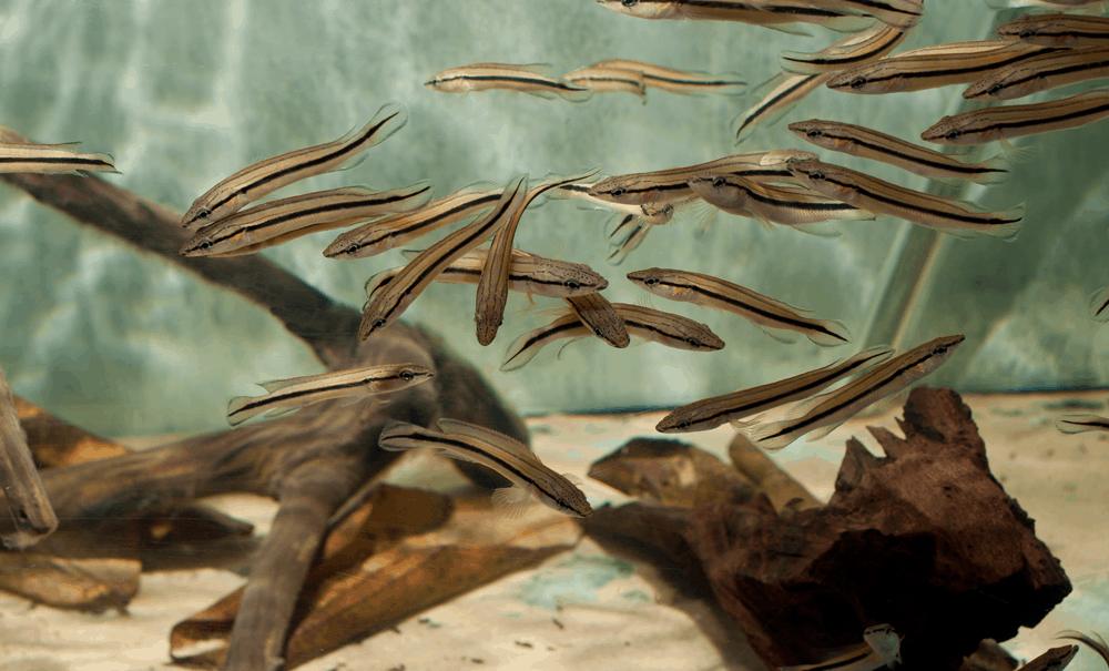 """Crenicichla lugubris """"WF Rio Orinoco"""" 6-7cm"""
