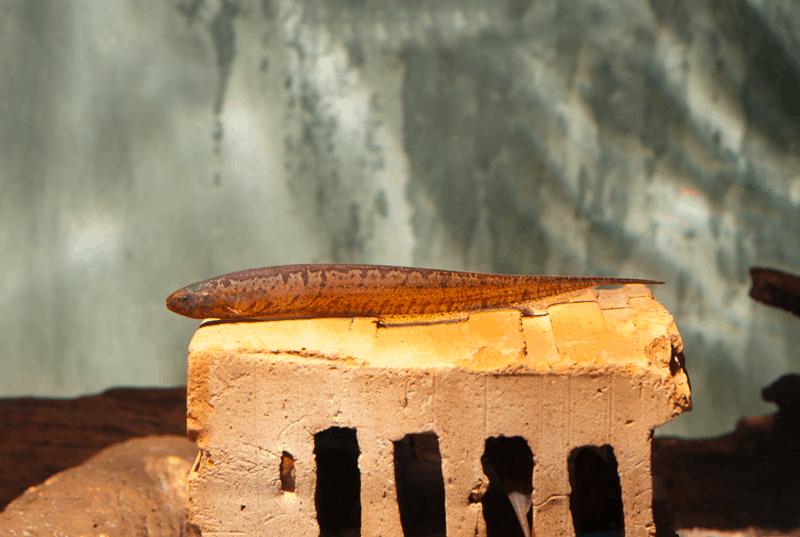 "Tüpfel Messerfisch ""WF Paraguay"" 12-17cm"