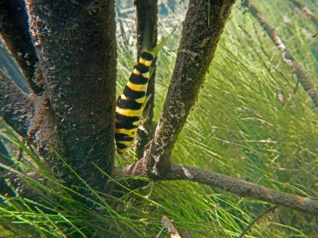 Foto: Leporinus altipinnis im Überschwemmungswald am Rio Tapajós. W. Staeck