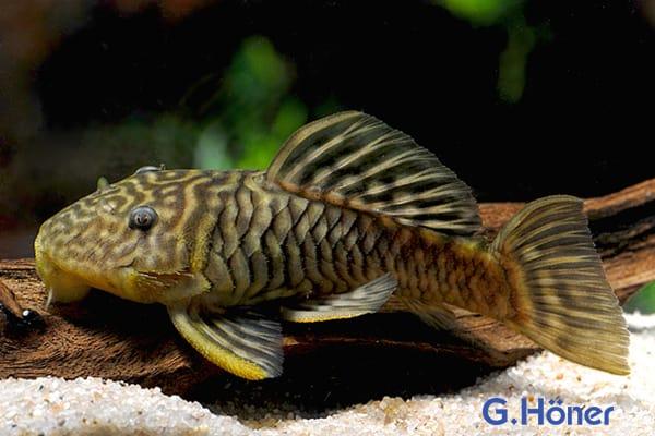 parancistrus aurantiacus goldflossen harnischwels my fish. Black Bedroom Furniture Sets. Home Design Ideas
