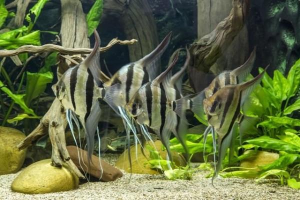Foto: Pterophyllum altum im Aquarium von Harald Kahden. R. Stawikowski