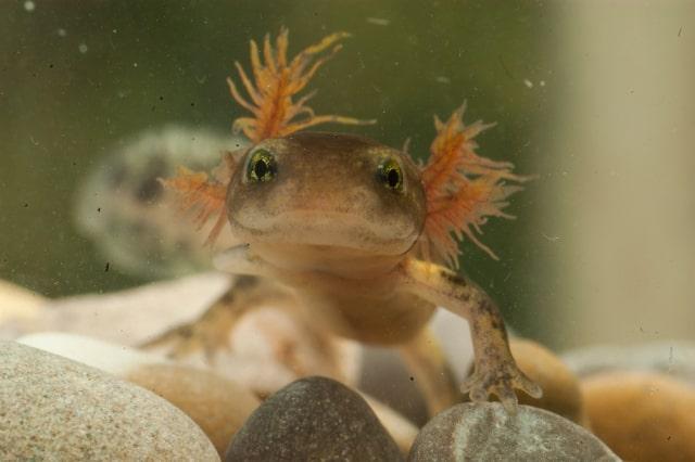 Foto: Larve des Feuersalamanders Salamandra salamandra. A. Pieh