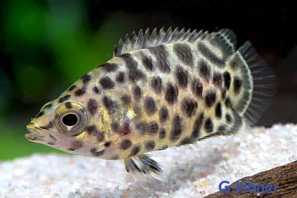 Ctenopoma acutirostre – Leopardbuschfisch Quelle: G. Höner – Zierfischgroßhandel