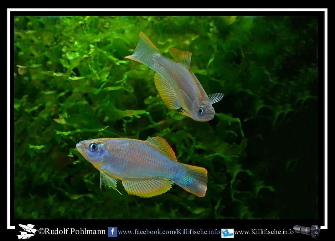 Leuchtaugenfische  - Procatopus similis