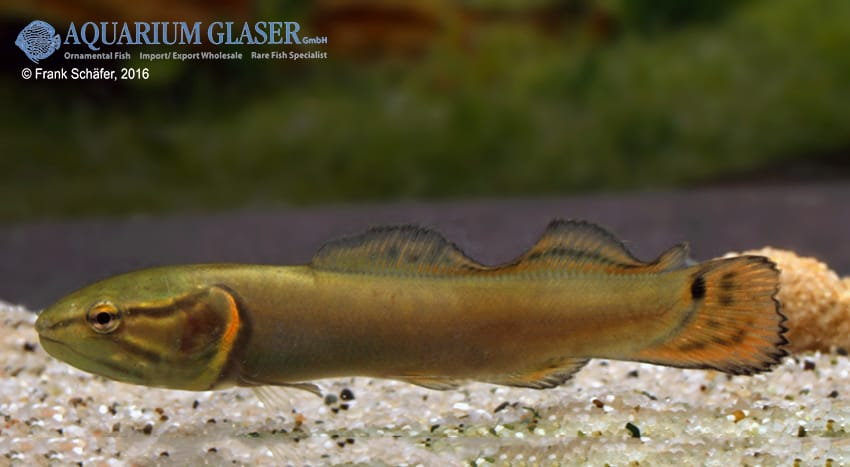 Amia calva - Quelle: Frank Schäfer - Aquarium Glaser