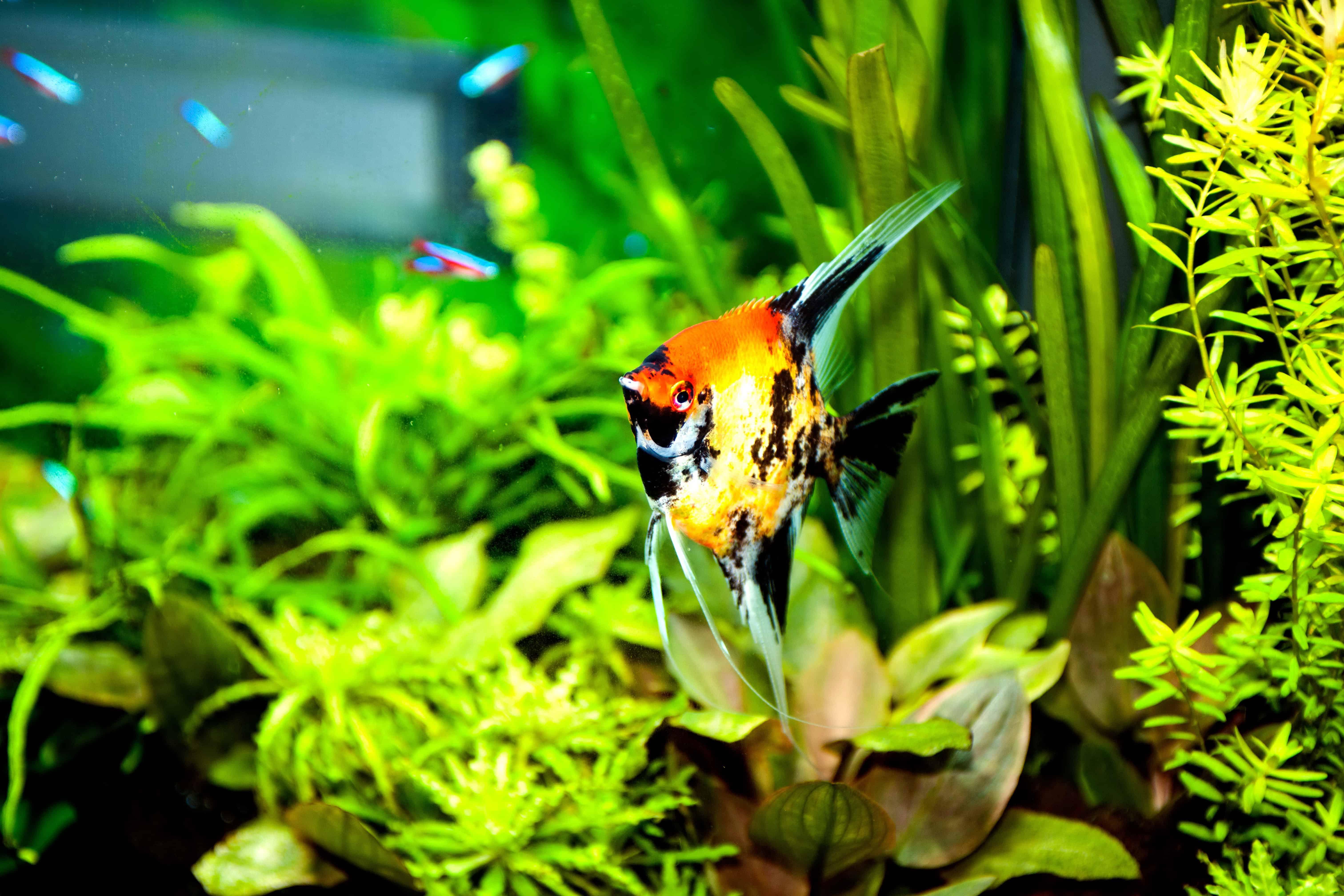 Foto: FLH. - Der Skalar ist aufgrund seines facettenreichen Erscheinungsbildes bei vielen Aquarianern besonders beliebt.