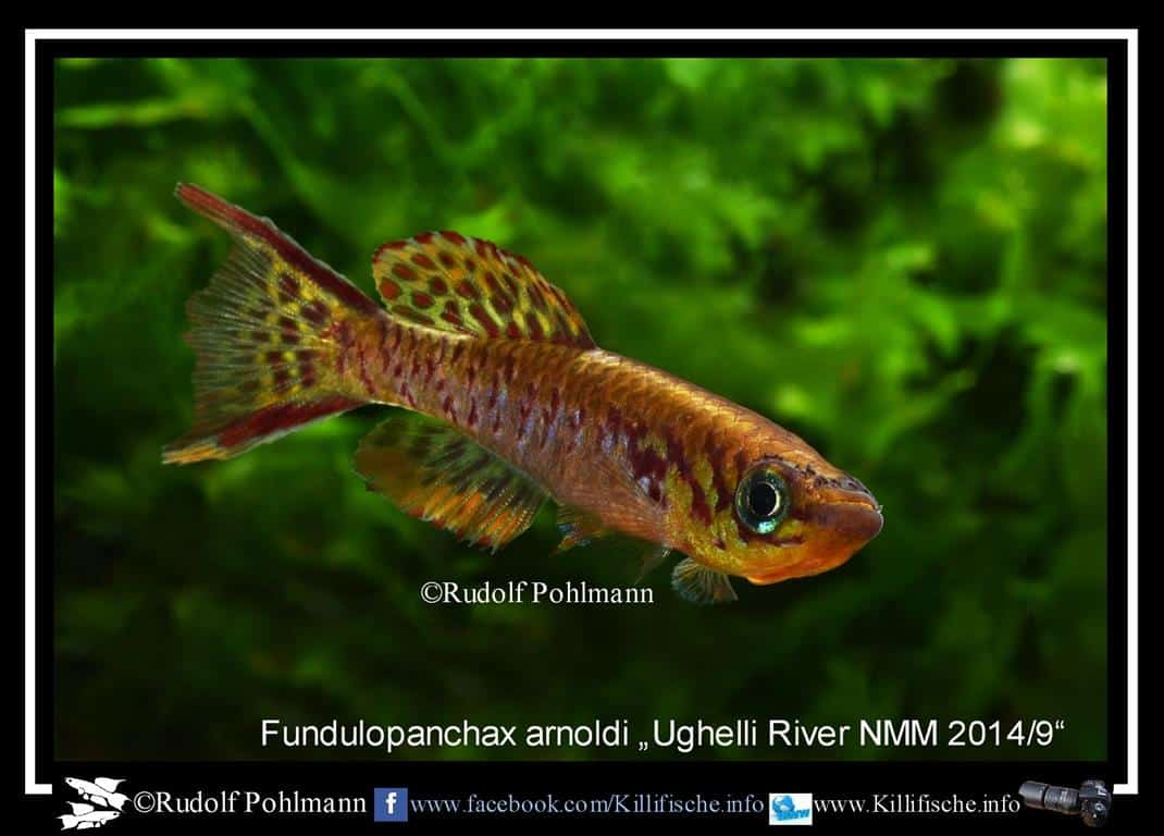 fundulopanchax arnoldi ughelli-river-nmm-2014-9-a