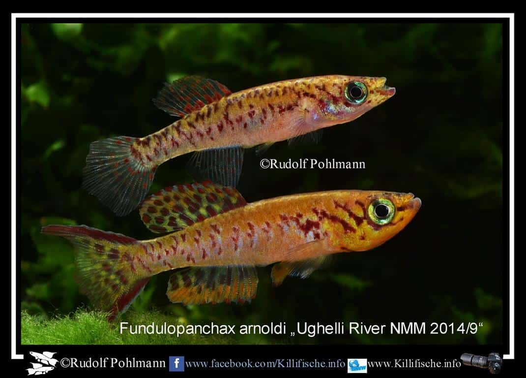 Fundulopanchax arnoldi – Arnoldi Prachtkärpfling 2