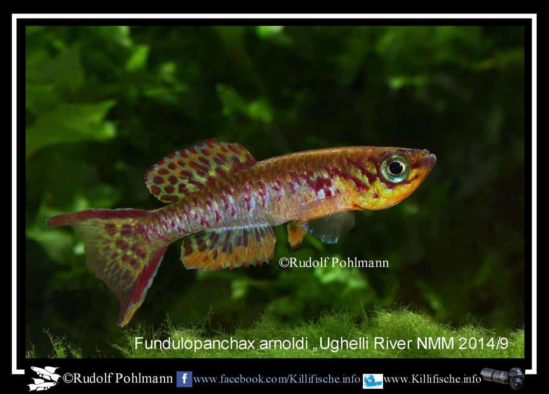 Fundulopanchax arnoldi – Arnoldi Prachtkärpfling 1