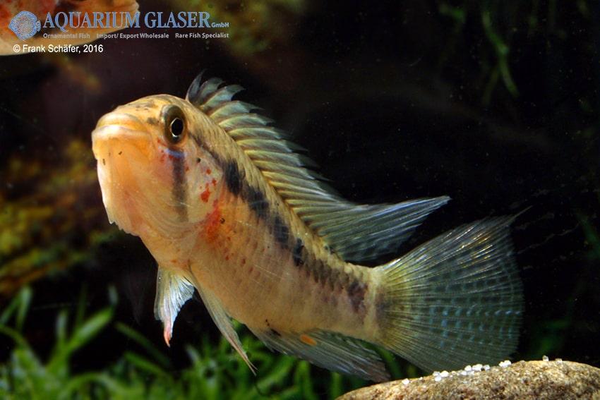 Apistogramma sp nanay my fish for Seltene zierfische