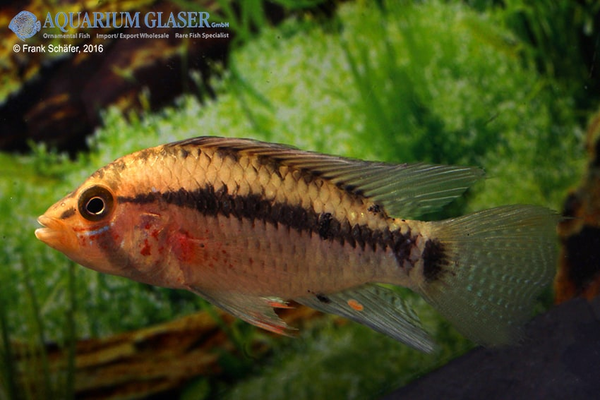 Apistogramma sp. Nanay neutral