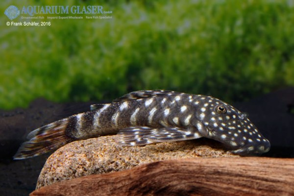 Chaetostoma L455 Tiger Mann