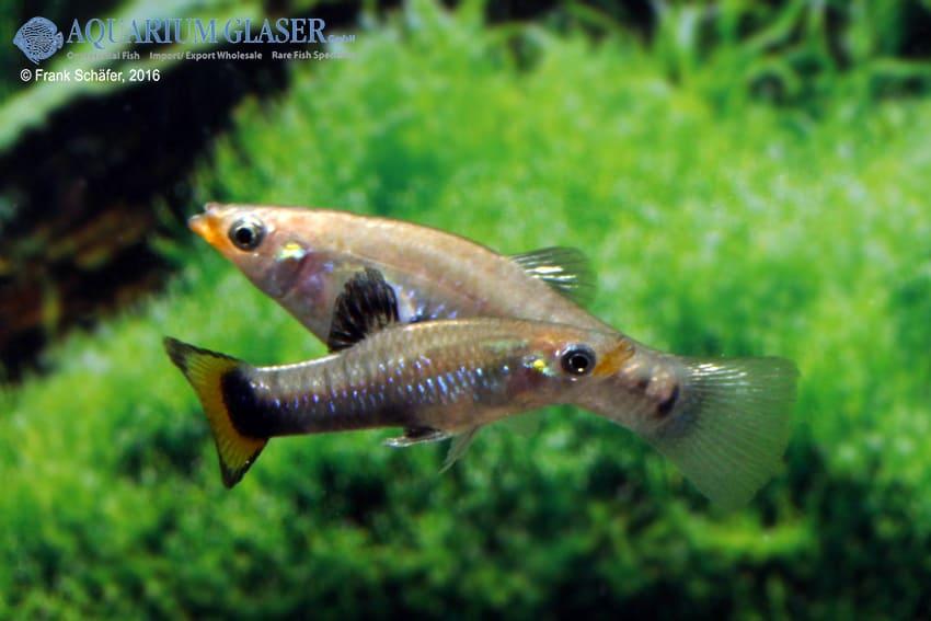 limia melanogaster paar