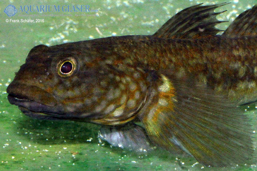 Papuligobius uniporus