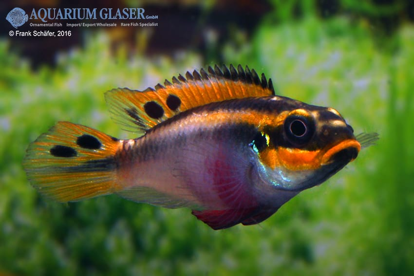 pelvicachromis taeniatus nigeria red frau