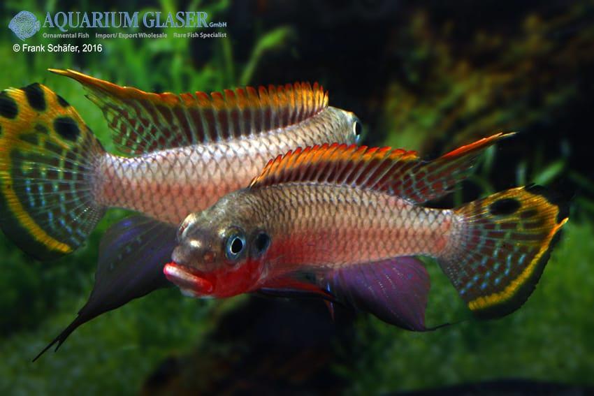 pelvicachromis taeniatus nigeria red jungs zanken