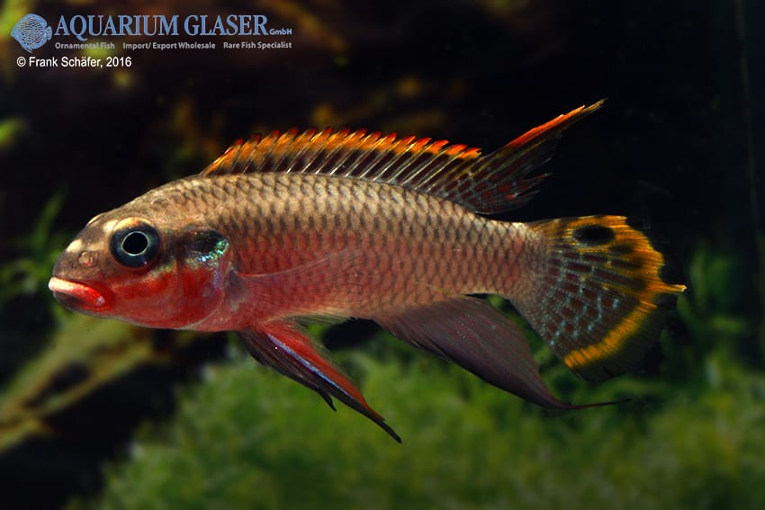 pelvicachromis taeniatus nigeria red mann