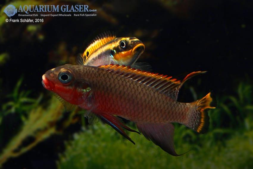 pelvicachromis taeniatus nigeria red paar