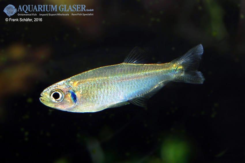 tyttocharax cochui