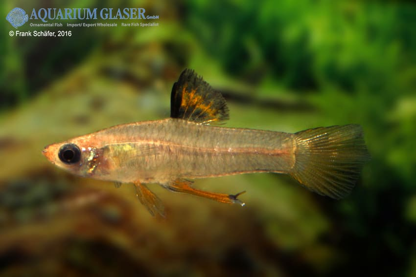 xenophallus umbratilis