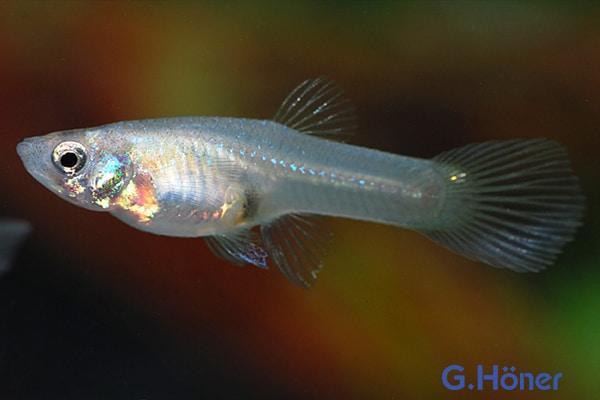 Poecilia reticulata Weibchen - Quelle: G. Höner - Zierfischgroßhandel
