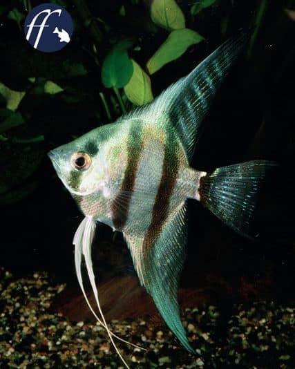 Franky Friday: Blauer Blog über Skalare und Fadenfische 1