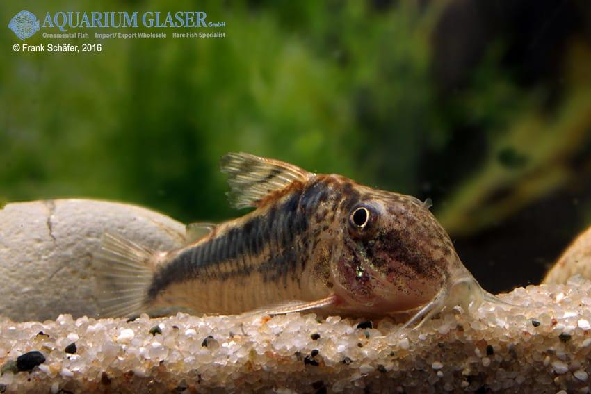 Corydoras cf semiaquilus