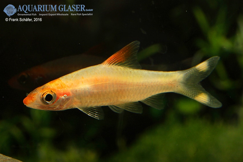 Sahyadria denisonii GOLD