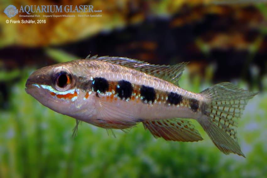 Dicrossus filamentosus