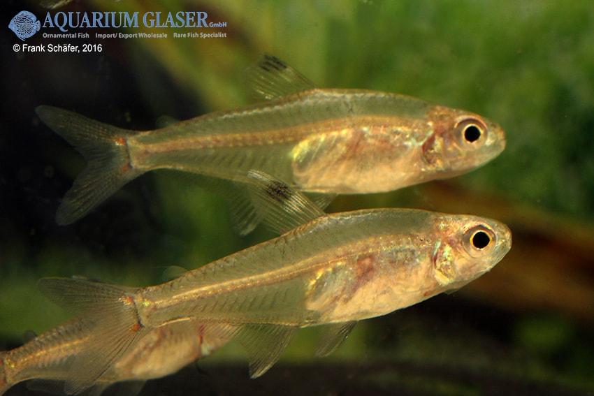 Hyphessobrycon dorsalis