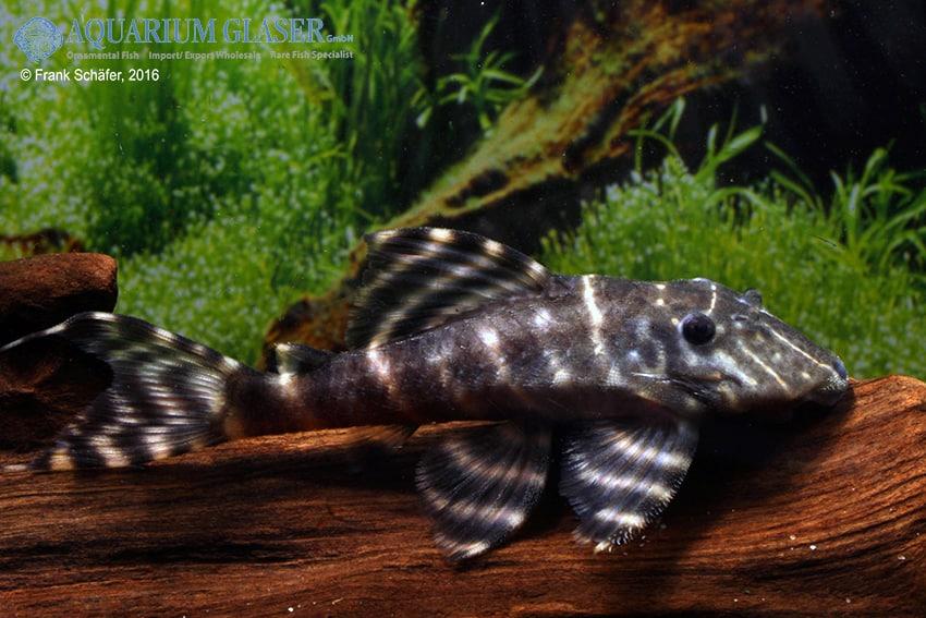 Panaqolus albivermis, L204