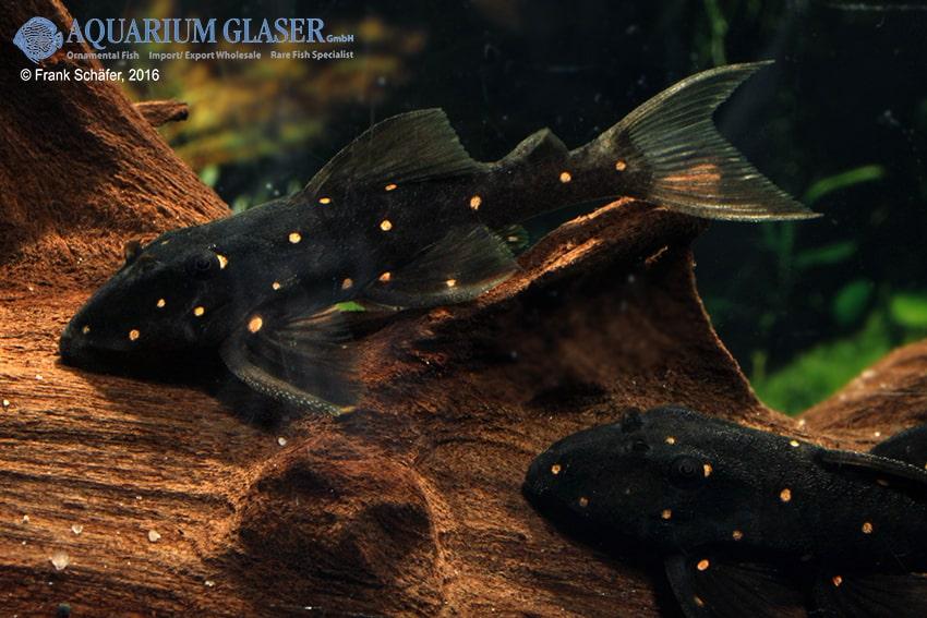 Panaquolus albomaculatus lda 31