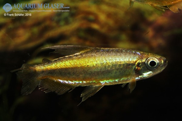 Phenacogrammus aurantiacus