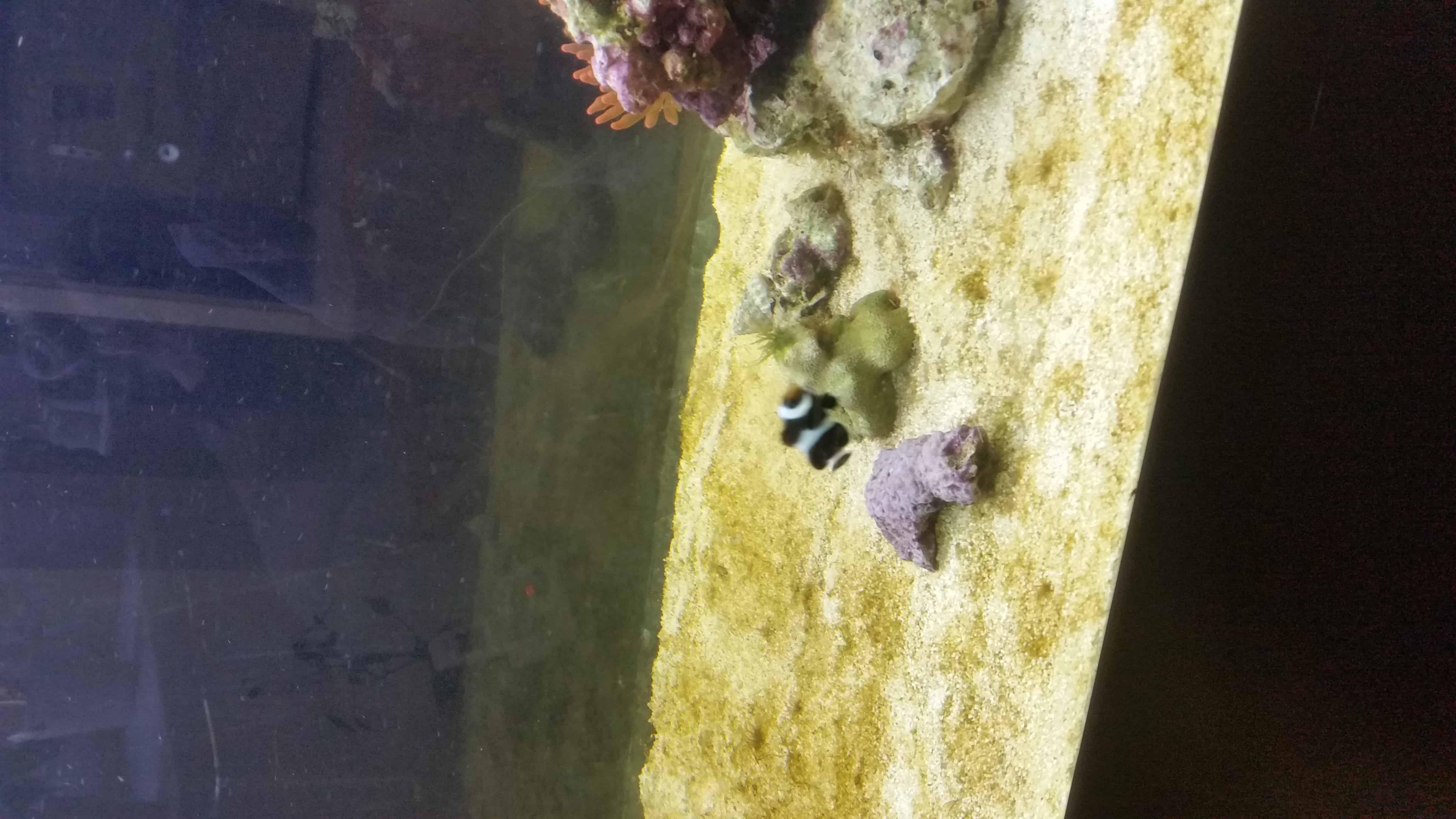 Meerwasser Anemonenfisch
