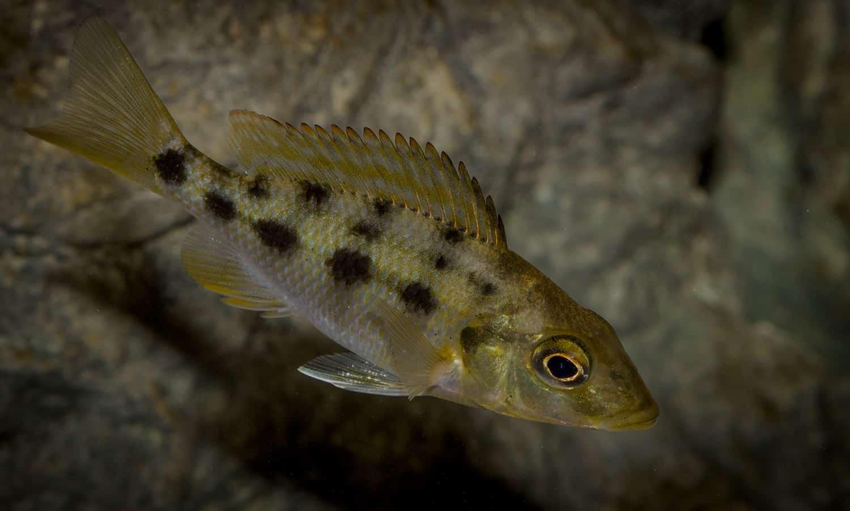 Fossorochromis rostratus - Fünffleckmaulbrüter 5