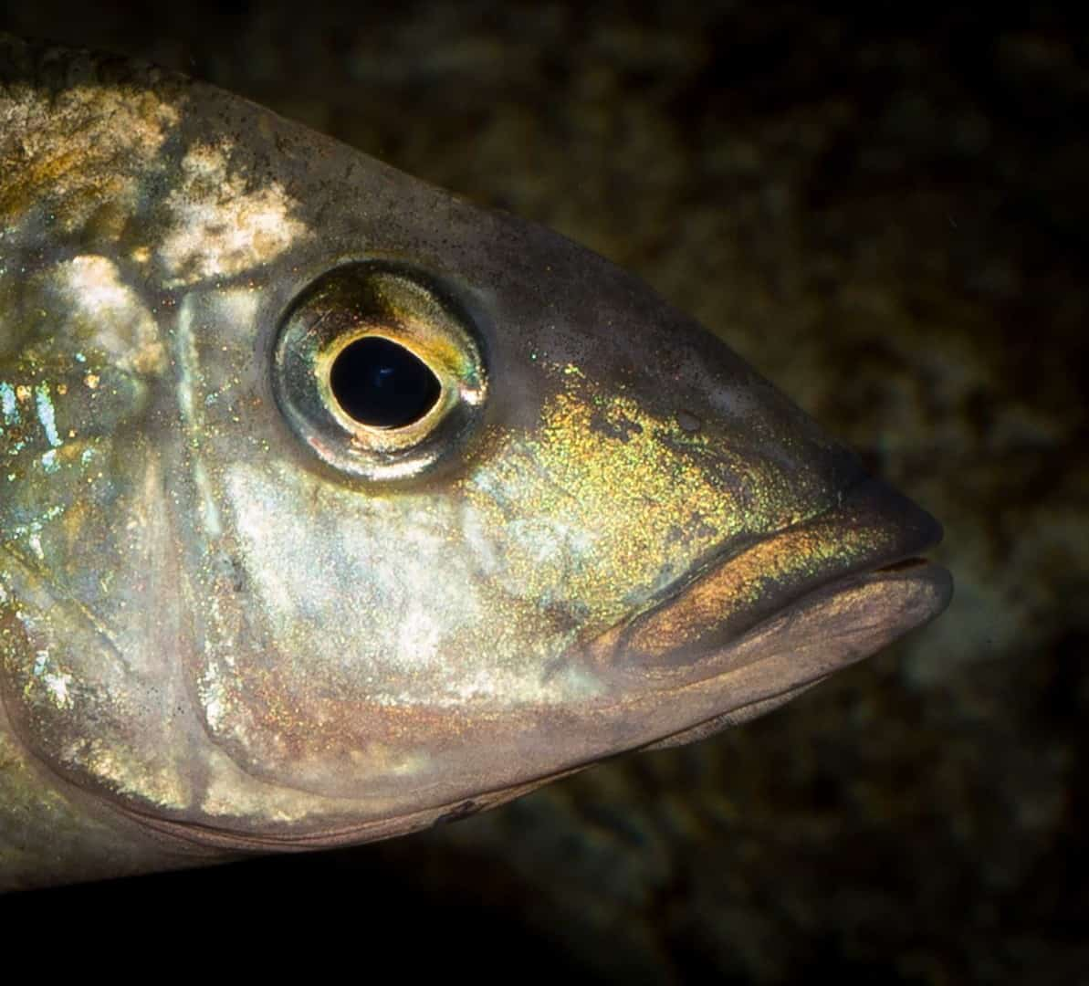 Fossorochromis rostratus - Fünffleckmaulbrüter 2