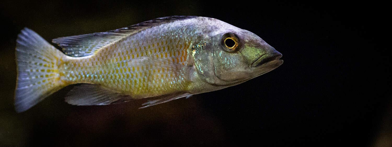 Fossorochromis rostratus - Fünffleckmaulbrüter 1