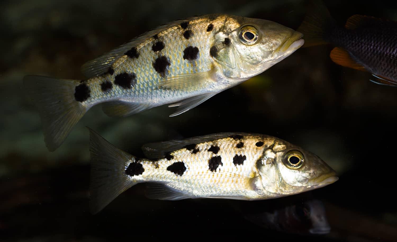 Fossorochromis rostratus - Fünffleckmaulbrüter 3