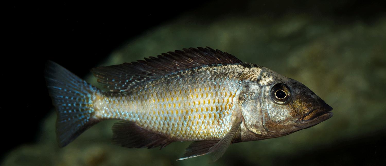 Fossorochromis rostratus - Fünffleckmaulbrüter 4