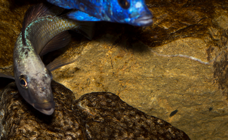 Fossorochromis rostratus - Fünffleckmaulbrüter 9