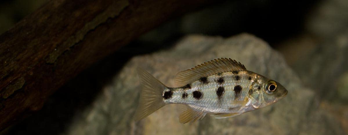 Fossorochromis rostratus - Fünffleckmaulbrüter 8