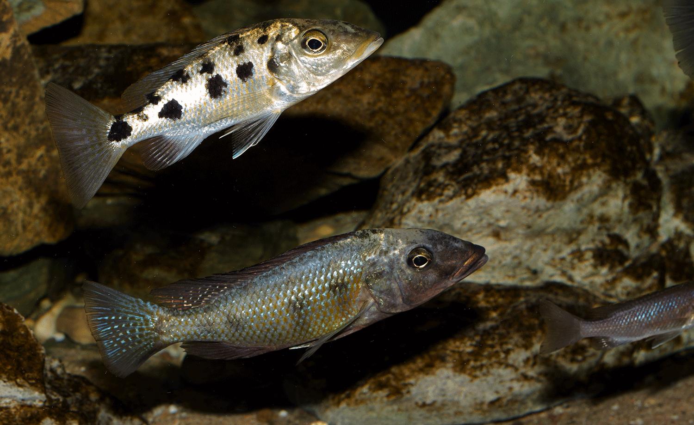 Fossorochromis rostratus - Fünffleckmaulbrüter 7